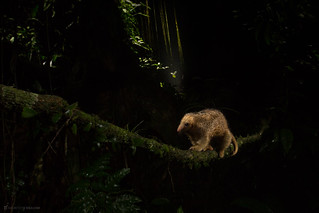Silky anteater(Cyclopes didactylus) crossing a vine at night