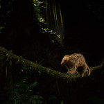 Silky anteater(Cyclopes didactylus) crossing a vine at night thumbnail