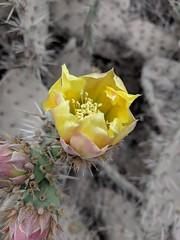 IMG_20180622_102955 (joeginder) Tags: jrglongbeach flower cactus hiking oceantrails