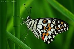 A Common Lime butterfly at rest. (MCSindagi) Tags: sony sonyrx10iv sonyrx10m4 sonyrx10 bangalore bengaluru butterfly commonlimebutterfly karnataka portrait telemacro macro closeups butterflies manojsindagi