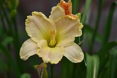 Daylily_0976 (Porch Dog) Tags: 2018 garywhittington kentucky nikond750 nikkor200500mm nature backyard blooms blossoms flowers daylily