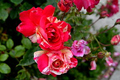 Rosaleda Parque del Retiro (paloma.dm) Tags: parque del retiro madrid rosaleda rosas