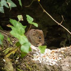 Fantastic Wee Beasties (Sara@Shotley) Tags: vole creature animal small countryside wildlife rural devon england