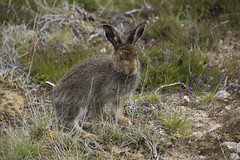 Hares Who Lunch (steve_whitmarsh) Tags: aberdeenshire scotland scottishhighlands highlands animal nature wildlife hare mountainhare topic abigfave