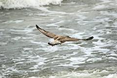 J78A1806 (M0JRA) Tags: birds gulls waves sea flight flying wildlife rats walks gardens parks fields trees lakes ponds ducks swans rspb