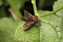 Hesperiidae sp. (Skipper) - Entebbe, Uganda (Nick Dean1) Tags: hesperiidae skipper butterfly animalia arthropoda arthropod hexapoda insect insecta uganda entebbe
