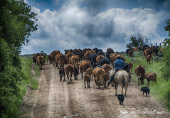 cattle drive (Pattys-photos) Tags: cattle drive idaho cowboy cows dogs