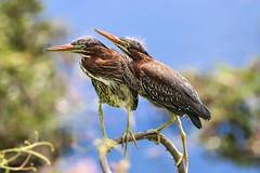 Young Greenie Siblings (dianne_stankiewicz) Tags: herons nature wildlife birds greenherons siblings greenie marsh coastal