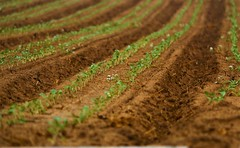 June21Image2317 (Michael T. Morales) Tags: agriculture farm cultivation rows furrows soil harvest salinasvalley ag