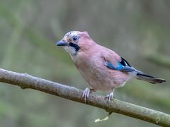 Jay (Happy snappy nature) Tags: jay bird avian outdoors nature wild wildlife shropshire nikond500 nikon200500