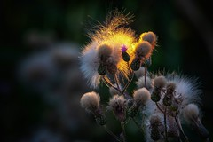 Fluffy (anderswetterstam) Tags: beauty fragility purple summertime summer sundown sunset sunlight sunshine botanical flora flower evening nature plants seasons light