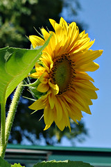 Sunny flower (Blue sky and countryside) Tags: yellow bluesky hot summertime smilingface garden derbyshire england homegrown pentax