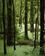 The Caw Caw Swamp! (Ruby 2417) Tags: swamp green reserve preserve duckweed carboniferous jungle wetland soggy