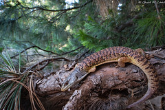 Shasta Alligator Lizard (Elgaria coerulea shastensis) (Chad M. Lane) Tags: wildlife wildlifephotography wideangle wild wideanglephotography wideanglemacro explore exploring explorer enjoy usa outdoors animals animal d810 fieldherping fullframe fx greatoutdoors alligatorlizard shastaalligatorlizard siskiyoucounty herps herping hiking herp lizards california californiawildlife californiaherps venuslaowa15mmf4macro beautiful nikon nature nikond810 naturephotography nofilter macro macrophotography mothernature mountains pine elgaria laowa15mmf4macro laowa laowa15mm
