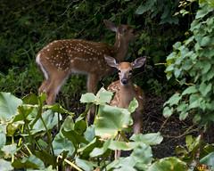 072118145598asmweb (ecwillet) Tags: deer wildwoodparkharrisburgpa ecwillet ericwillet nikon nikond500 nikon200500f56