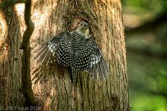 Juvenile Red-bellied Woodpecker (jwfuqua-photography) Tags: redbelliedwoodpecker backyardbirds woodpecker jwfuquaphotography peacevalleynaturecenter jerrywfuqua birds pennsylvania buckscountyparks buckscounty nature