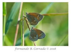 Common Ringlet (3918) (fbc57) Tags: commonringlet coenonymphatullia satyrs satyrinae butterflies lepidoptera nikond850 nikon300f4pfvrtc14x richmond richmondi89bridge vermont johnniebrookroad nymphalids