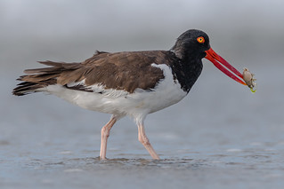 Oyster Catcher and a Flea (Explored, thank you)