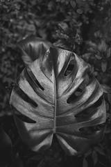 Elegance. (Pablin79) Tags: dof monochrome mono dark plant environment plants details shadows outdoors light blackandwhite black white closeup nature misiones aristobulodelvalle cuñapirulodge argentina monsteradeliciosa