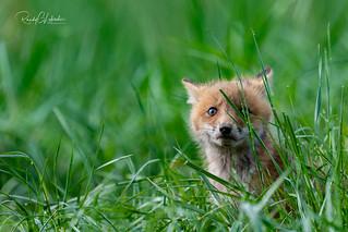 Red Fox - Vulpes vulpes | 2018 - 20