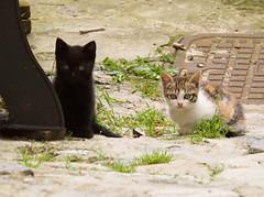 P5191590 24x18 (M64RM) Tags: cat