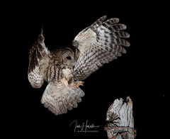 Tawny Owl (Ian howells wildlife photography) Tags: ianhowells ianhowellswildlifephotography inflight tawnyowl tawny nature naturephotography nationalgeographic night unitedkingdom wildlife wildlifephotography wales wild wildbird wildbirds canon canonuk flash