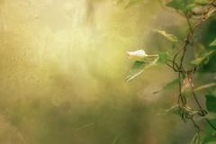 Textured Nature (aveyardphotography) Tags: nature soft grain texture vine
