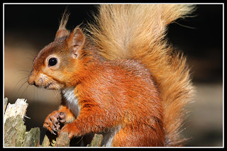 IMG_0008 Red Squirrel