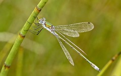 Emerald Damselfly V - Lestes sponsa - Ramsley (westoncfoto) Tags: easternmoor ramsley reservoir insects flowers water