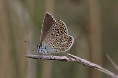Polyommatus icarus (moments in nature by Antje Schultner) Tags: schmetterling bläuling papillon mariposa butterfly wiese naturschutzgebiet badenwürttemberg makro canon