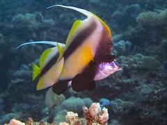 P1-009086 (charlesvanlangeveld) Tags: heniochusintermedius redseabannerfish underwater fish portraits redsea egypt rodezeewimpelvis marsaalam portghalib scuba diving