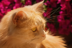 The watchful eye and the bougainvillea bokeh (FocusPocus Photography) Tags: linus katze kater cat chat gato tier animal haustier pet bougainvillea profil profile sonnig sunny