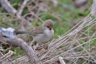 Superb Fairy-wren ( with a lot to say )