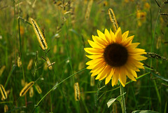 Sunset and Sunflower (Josiane D.) Tags: pyrenees occitanie france sunflower tournesol sun flower yellow land light