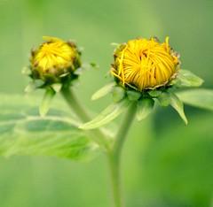 Hearts Entwined (barbara_donders) Tags: natuur nature spring lente bokeh macro flowers bloemen bloemknoppen flowerheads yellow geel green groen twins tweeling mooi prachtig beautiful magical