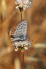 IMG_4975 (edward_rooks) Tags: sierraazulopenspacepreserve bald mountain mount umunhum insects wildflowers butterflies bees wasps assassin bug