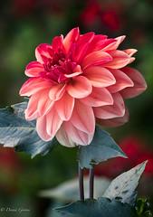 Dahlia Beauty (dngovoni) Tags: flower longwoodgardens pennsylvania dahlia garden macro summer kennettsquare unitedstates us