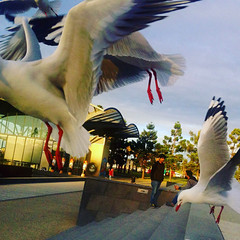 Geelong August 2018 (i_shudder) Tags: geelong australia seagulls waterfront composition flight birds instagram form
