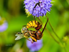Lunch time (franbanks1 -( colin banks) ( 1 million views , tha) Tags: lunch macro sigmauk nikon sigma105mm franbanks hunting nature bee insects hornets hornet