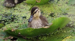 Mallard duckling sat on a lily pad (vickyouten) Tags: vickyouten warrington sankeyvalleypark wildlife nature duck ducklings duckling mallardduckling