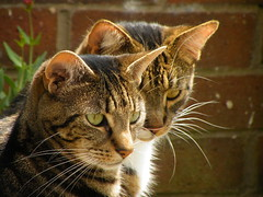 Bertie and William (rospix+) Tags: rospix 2018 june uk shropshire animal cat tabby cats tabbycats william bertie face portrait