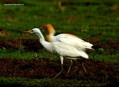IMG_5702 Cattle Egret-Breeding Plumage (Bubulcus ibis) (vlupadya) Tags: greatnature animal aves fauna cattle egret indianbirds breeding plumage bubulcus malyadi karnataka