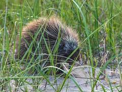 Face to Face . . . (Dr. Farnsworth) Tags: animal mammal porcupine dune grass sand piercestocking scenic drive sleepingbear mi michigan summer june2014