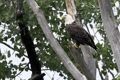 Bald Eagle (Kelly Colgan Azar) Tags: haliaeetusleucocephalus baldeagle june castletononhudson schodackislandstatepark