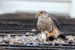 Merlin falcon (ingridvg) Tags: merlin falcon robin kill meal bird