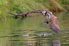 Osprey (3) (robin denton) Tags: pandionhaliaetus trout prey bird nature wildlife rutland osprey hornmilltroutfarm oakham uk
