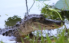 American alligator (Alligator mississippiensis (im2fast4u2c) Tags: american alligator mississippiensis gator or common crocodilian reptile sheldon lake state park animal wildlife