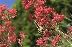 machaon (bulbocode909) Tags: valais suisse fleurs papillons insectes machaons arbres vert rouge jaune printemps