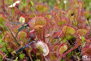 Rossolis à feuilles rondes / Round-leaved Sundew - Drosera rotundifolia