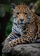 Jaguar Rica, Artis (Samantha Schutte) Tags: jaguar artis amsterdam nederland netherlands zoo dierentuin nikon d7200 animal dieren cat bigcat